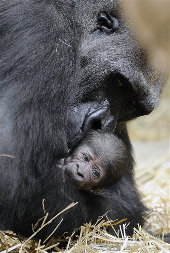 Baby Gorilla and Mother